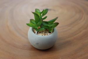 """Succulent with Cement Pot (C) 2.5""""d x 3""""h $4.76"""